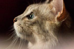 comment un chat voit
