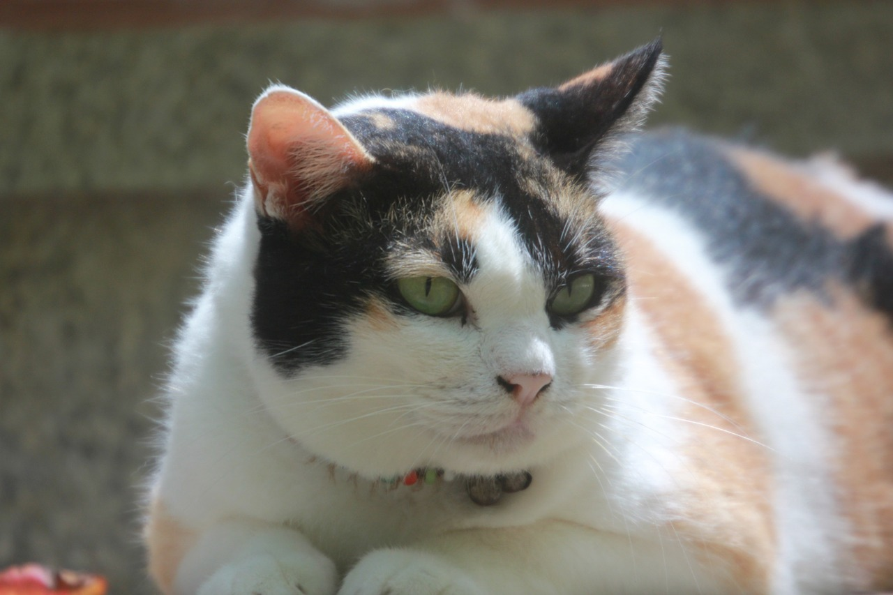 chat maigrir