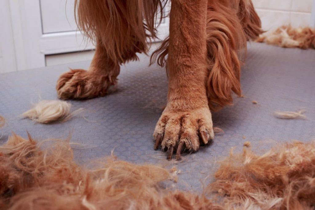 chien poil long