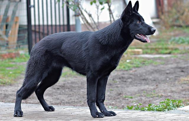 berger allemand noir debout