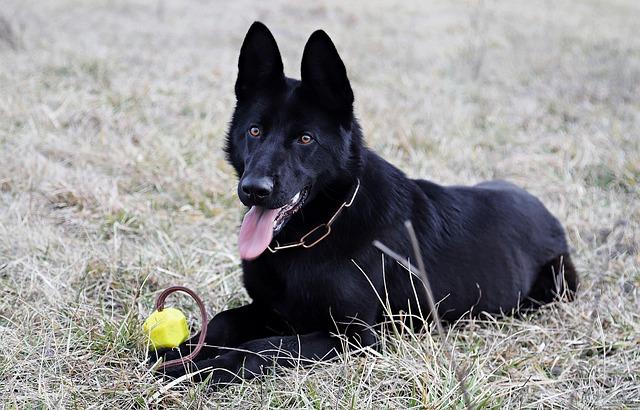 berger allemand noir balle